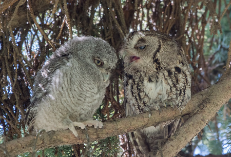 Pair of Owls on a Branch 版權商用圖片
