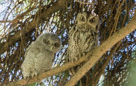 Owls on a Branch Reklamní fotografie