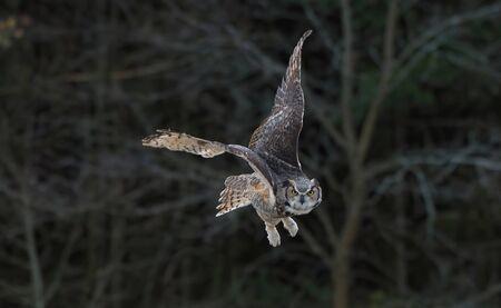 Great horned owl in Ontario, Canada, in winter