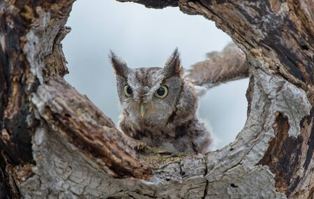 The eastern screech owl in the hollow tree