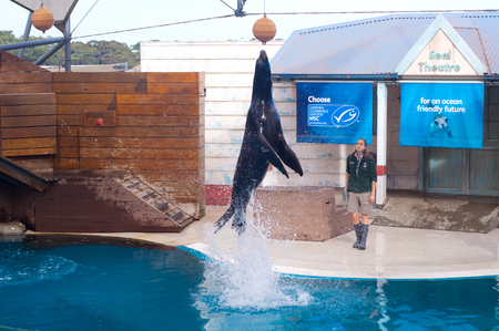 Sydney Australia - August 12, 2017. Sea lion show in Sydney Taronga Zoo. Acrobatic seal jump on a water show trying get the ball.