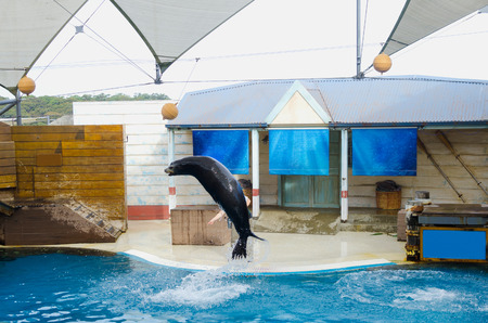 Acrobatic seal jump  of Sea lion on a water show trying get the ball. 新聞圖片