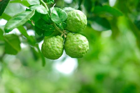 Bergamot on Tree in gaden, bergamot (Kaffir Lime) fruits