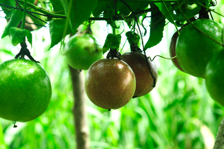 Lots of raw and fresh passion fruit on the tree, passion fruit farm.