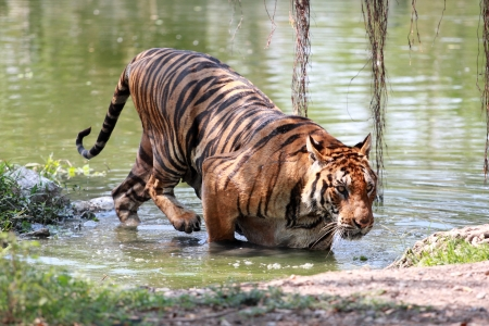 A Starvation Tiger photographed in Safari World in Bangkok photo