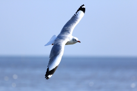 immigrate: Flying Seagull