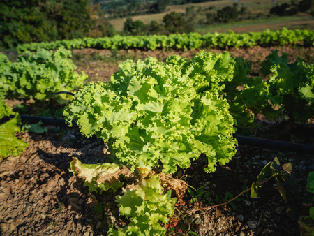 Closeup of a green lettuce plant on the fertile field.