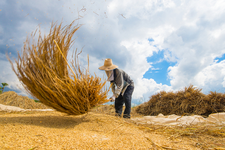 The farmer was hitting the rice paddies on the ground so that the grain would fall out of the rice to produce only grain. It is a traditional agriculture of Asia and Thailand.