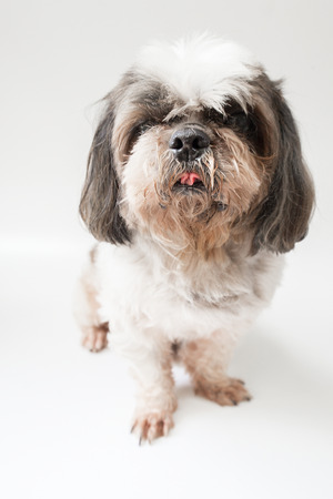 Shih Tzu dog standing on a white background.