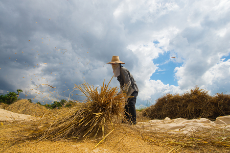 The farmer was throwing rice on the ground so that the grain would fall out of the rice. Traditional farming in Asia and Thailand.
