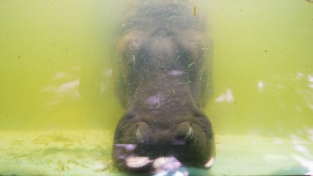 The animals were confined hippopotamus Stock Photo