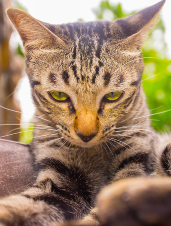 Cat face Asian species Stock Photo