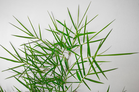 Leaves and leaves of green bamboo on a white floor with empty space.