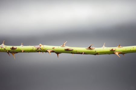 The spiky branch spiked on a gray background. Reklamní fotografie