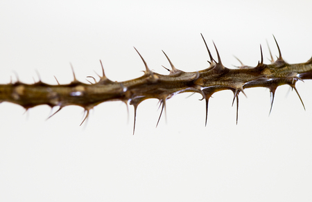 Thorns of a tree against a white background with space