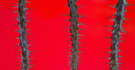 Thorn tree trunk nature on red background