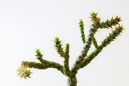 Thorns and cactus branches on a white background