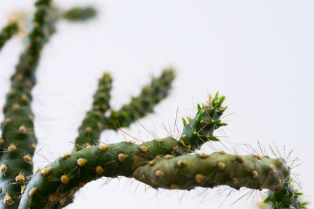 Prickly cactus on a white background.