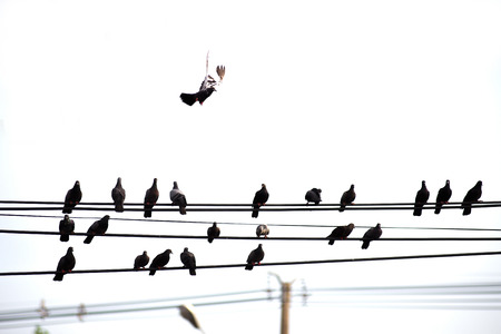 Many birds are clustered high voltage wiring. On white backdrop