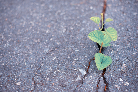 The tree is born and grows in a crack on the concrete road surface.