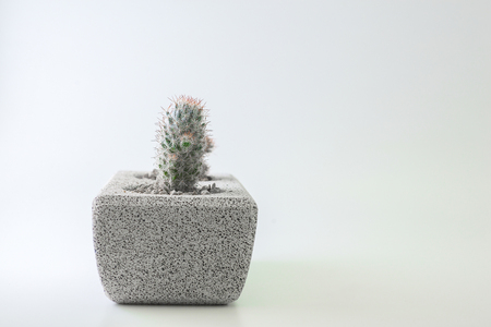 Cactus in a pot on a white background with empty space.