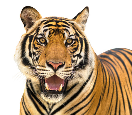 Tiger isolate on white background