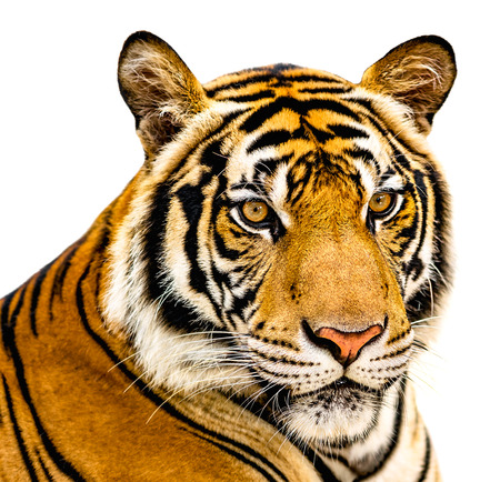The Tiger isolate on white background