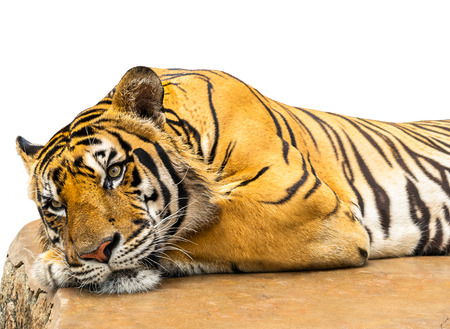 Tiger relax isolate on white background