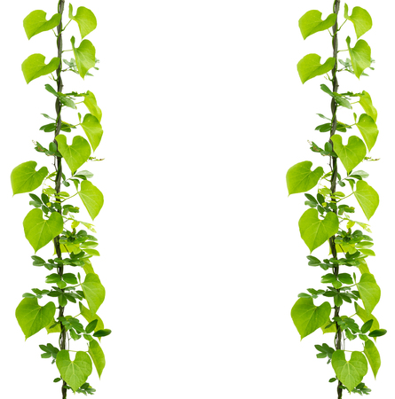 Green ivy plant isolate on a white background Banco de Imagens