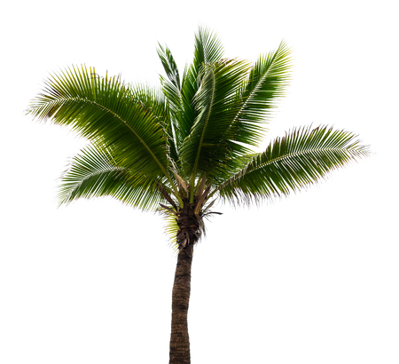 Coconut tree isolate on white background