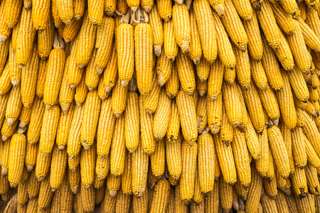 Ear of corn texture and background