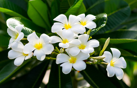 Frangipani flowers with leaves in background Banco de Imagens
