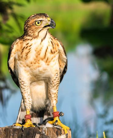 Hawks on the stump