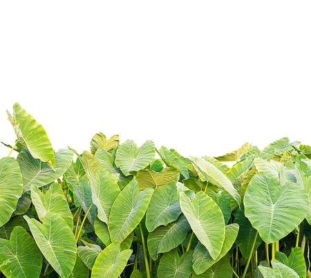 Elephant Ear plant isolate on a white background Banco de Imagens