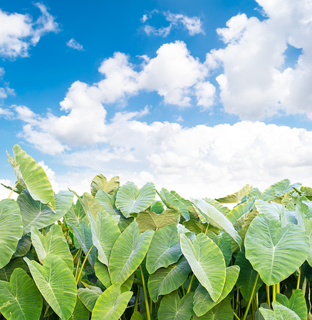 Elephant Ear plant on sky and clouds background Banco de Imagens