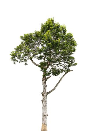 Tree isolate on a white background Banco de Imagens