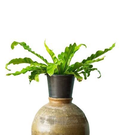 Bird's nest fern in pot isolated on white background