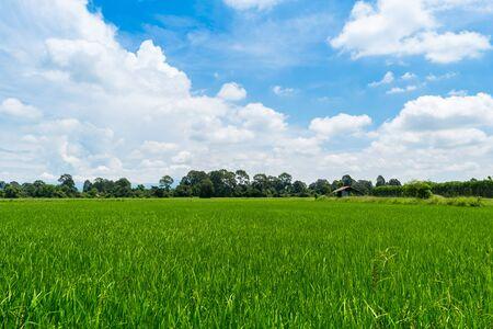 Paddy rice field green grass on beautiful blue sky background Banco de Imagens