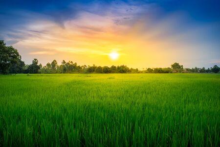 Paddy rice field green grass on beautiful sky sunset background