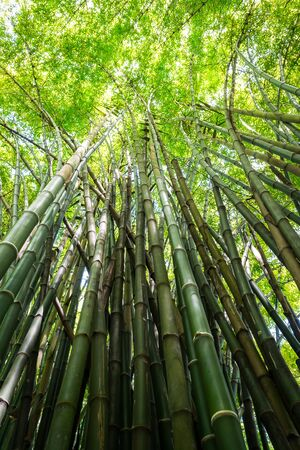 Nature Green Bamboo tree background