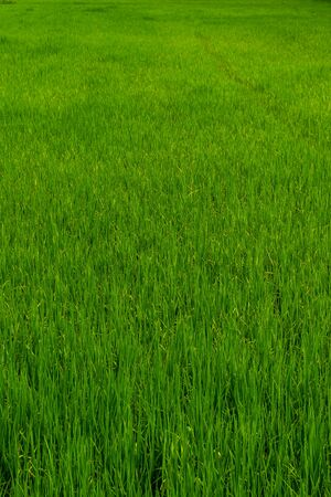 Green field, green rice background