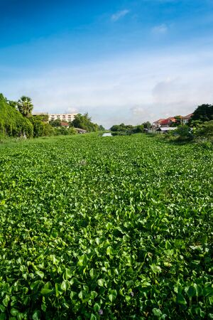 Water Hyacinth plant weeds growing dense in Canal Banco de Imagens