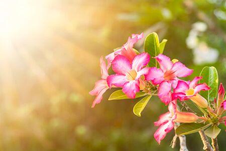 Azalea flowers on sunlight background