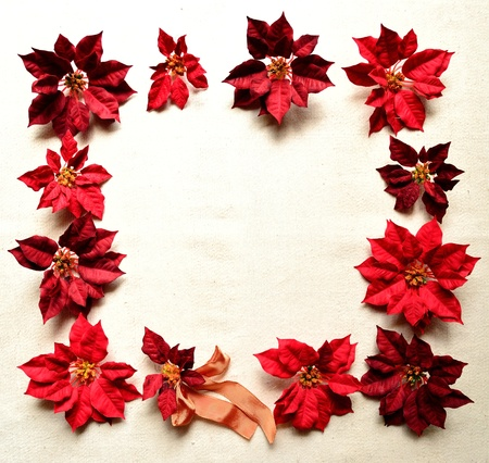 christmas red poinsettia frame  photo