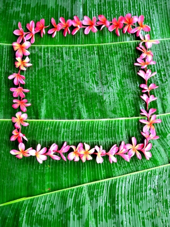 Frame of pink plumeria on banana leaf photo