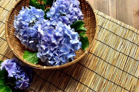 japones bambu: Hydrangea azul en bamb� japon�s fondo ciego Foto de archivo