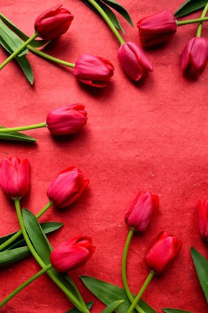 red paper: Red tulips on the red paper background