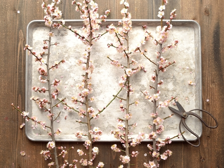 ume: Pale pink ume Japanese apricot blossoms with scissors on the silver tray