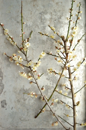 ume: White ume Japanese apricot blossoms on the silver background