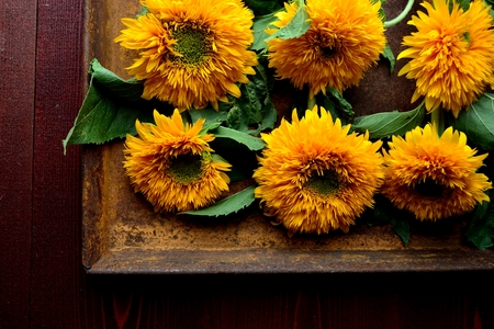 Sunflowers on the rusted tray.brown wooden background